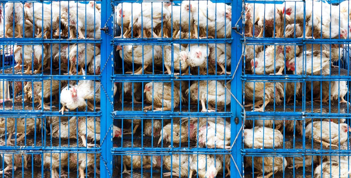Dyrevelferd i landbruket handlar om framtida til planeten vår